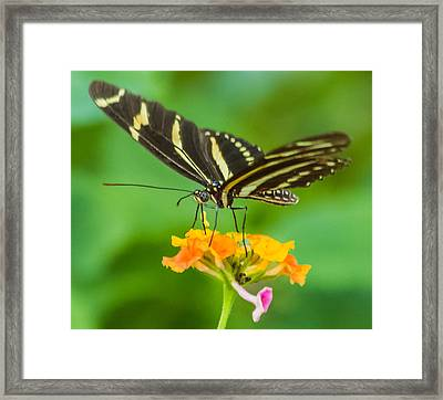 Framed Print featuring the photograph Zebra Longwing by Jane Luxton