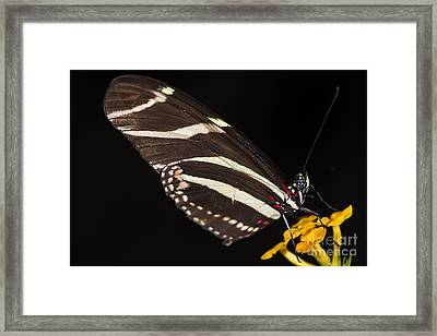 Zebra Longwing Framed Print by JT Lewis