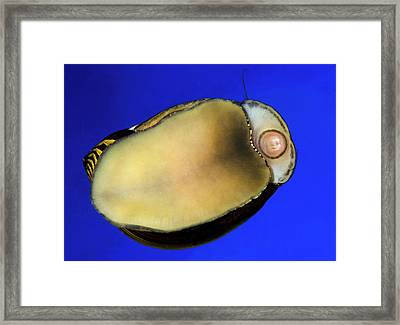 Zebra Nerite Snail Underside Framed Print by Nigel Downer