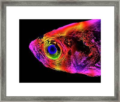 Zebrafish Head Framed Print by K H Fung