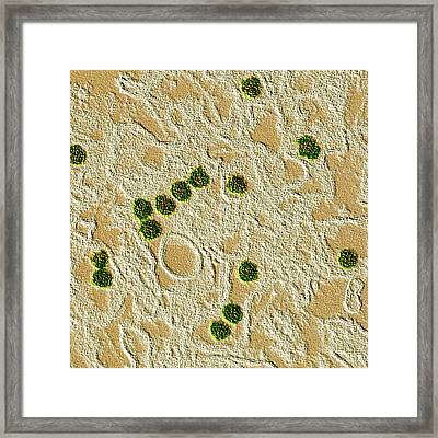 Zika Virus Framed Print by Cdc