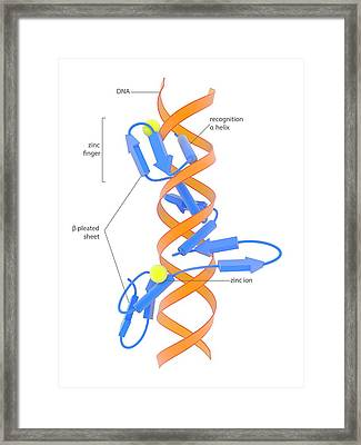 Zinc Finger Dna-binding Domain Framed Print by Science Photo Library