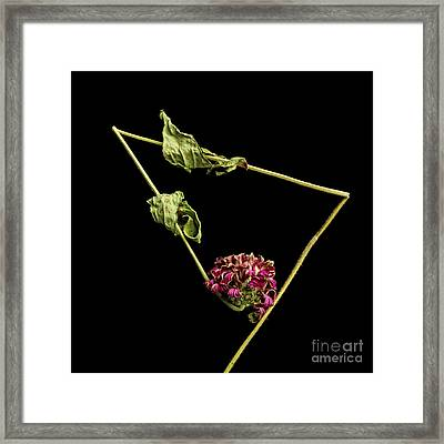 Zinnia Framed Print by Bernard Jaubert