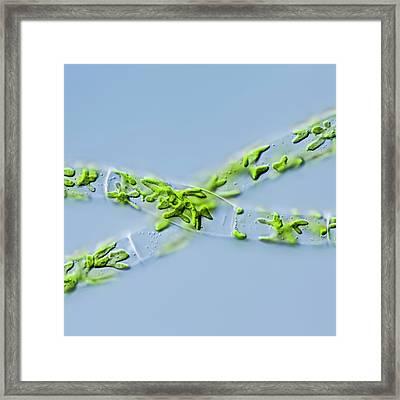 Zygnema Pseudogedeanum Green Alga Framed Print by Gerd Guenther