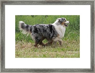 Australian Shepherd Dog Framed Print by Jean-Michel Labat