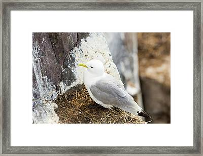 Black Legged Kittiwake Framed Print