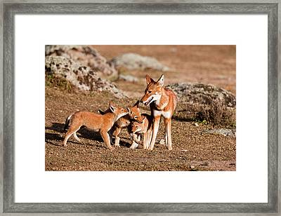 Ethiopian Wolf (canis Simensis Framed Print