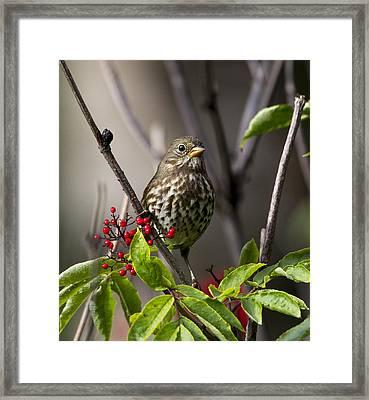 Fox Sparrow Framed Print