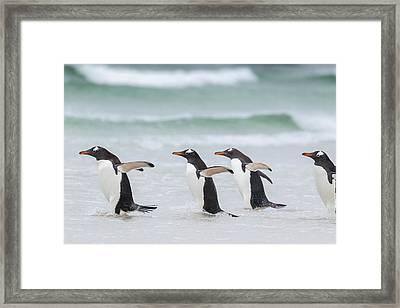 Gentoo Penguin (pygoscelis Papua Framed Print by Martin Zwick