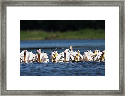 Great White Pelican (pelecanus Framed Print