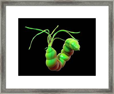 Helicobacter Pylori Bacteria Framed Print by Science Artwork