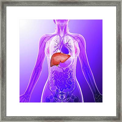 Human Liver Framed Print by Pixologicstudio
