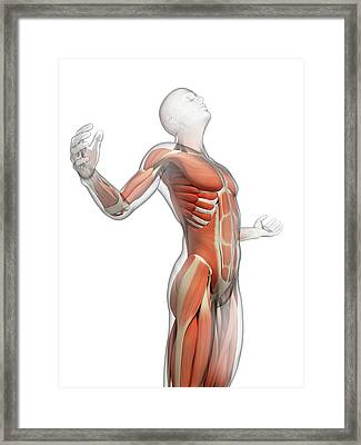 Human Muscular System Framed Print