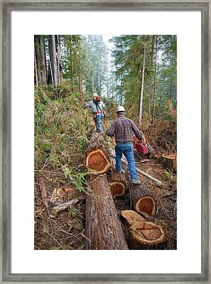 Logging Redwood Trees Framed Print