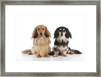 Miniature Long-haired Dachshunds Framed Print
