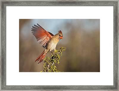 Northern Cardinal (cardinalis Cardinalis Framed Print by Larry Ditto