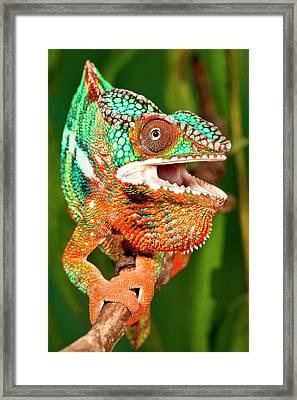 Rainbow Panther Chameleon, Fucifer Framed Print by David Northcott