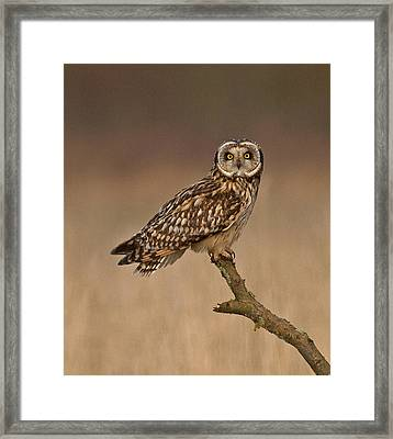 Short Eared Owl Framed Print by Paul Scoullar