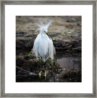 Snowy Egret Framed Print by Bill Martin