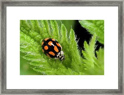 10-spot Ladybird Framed Print by Nigel Downer