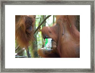 Sumatran Orangutan Framed Print