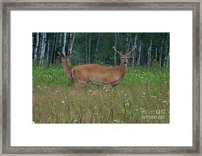 White-tailed Bucks Framed Print