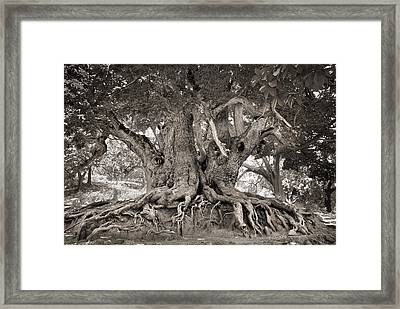 1000 Years Old Chestnut Tree Framed Print