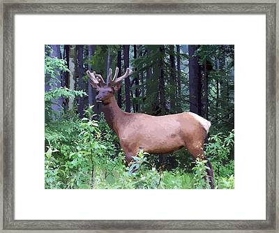 100_0547 Young Bull Elk In Albert Canada Framed Print