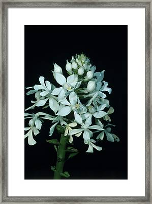 Orchid Flowers Framed Print by Paul Harcourt Davies/science Photo Library