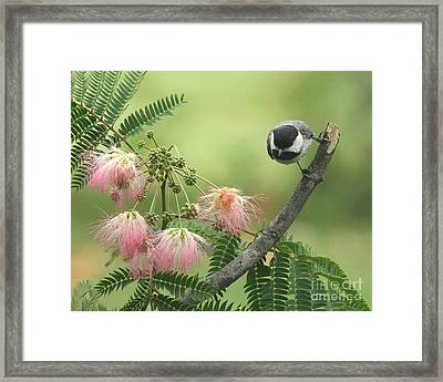 Black-capped Chickadee Framed Print by Jack R Brock