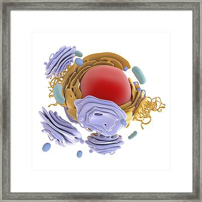 Animal Cell Organelles, Artwork Framed Print by Science Photo Library
