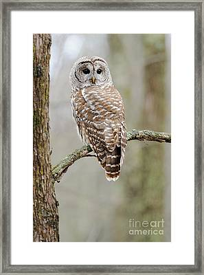 Barred Owl Framed Print by Scott Linstead