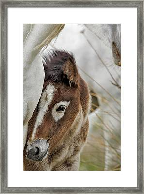 Camargue Horse Foal, Southern France Framed Print