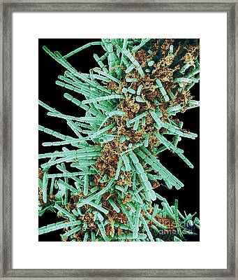 Diatoms, Sem Framed Print by Susumu Nishinaga