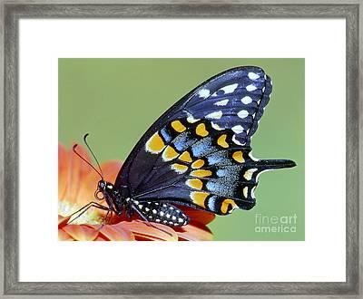 Eastern Black Swallowtail Butterfly Framed Print by Millard H. Sharp