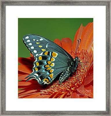 Eastern Black Swallowtail Framed Print