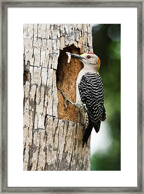 Golden-fronted Woodpecker (melanerpes Framed Print