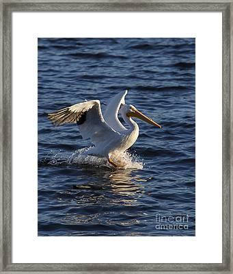 Great White Pelican On The Water Framed Print by Twenty Two North Photography