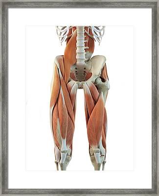 Human Leg Muscles Framed Print