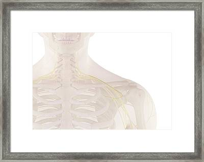 Human Nerves Framed Print by Sciepro