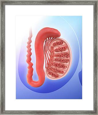 Human Testicle Framed Print