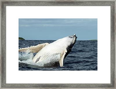 Humpback Whale Framed Print by Christopher Swann/science Photo Library