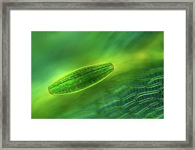 Netrium Desmid Framed Print by Marek Mis