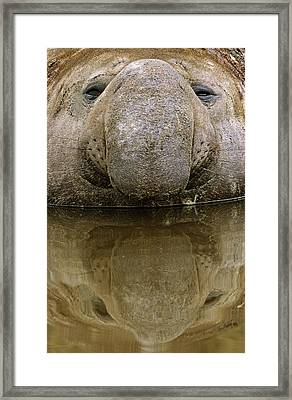 Southern Elephant Seal (mirounga Leonina Framed Print by Martin Zwick