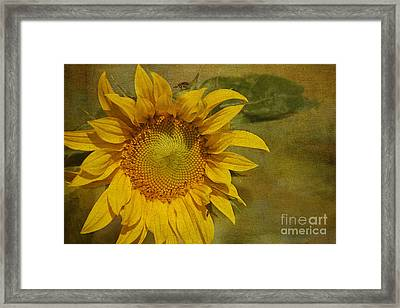 Sunflower Framed Print by Cindi Ressler