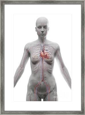 The Cardiovascular System Female Framed Print