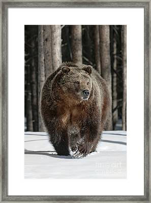 110423- Midway Grizzly Framed Print