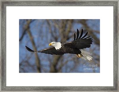 Bald Eagle In Le Claire Iowa Framed Print