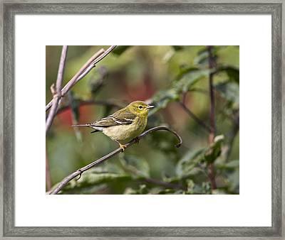 Blackpoll Warbler Framed Print