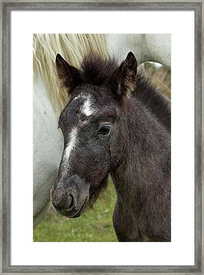 Camargue Horse Foal, Southern France Framed Print by Adam Jones